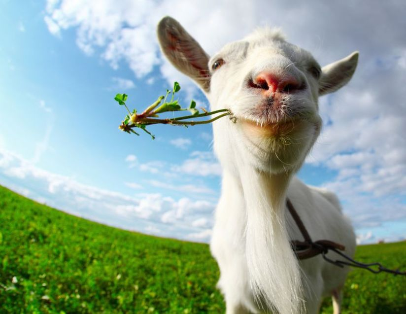 goat-chewing-grass.jpg.838x0_q80