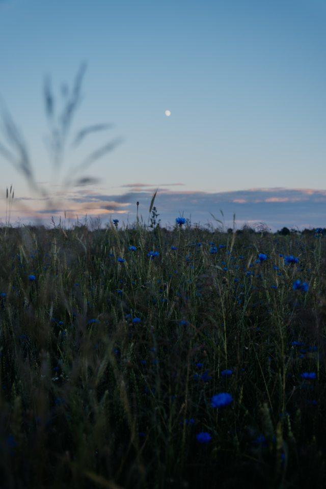 blue-cornflowers-1435567